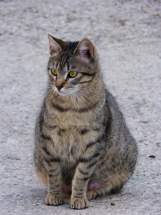 Gata, Cat, Feline, Pregnant, Brindle