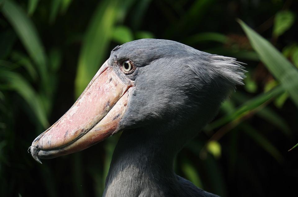člnozobec Royal, Bird, Prehistoric Times, Animal, Beak