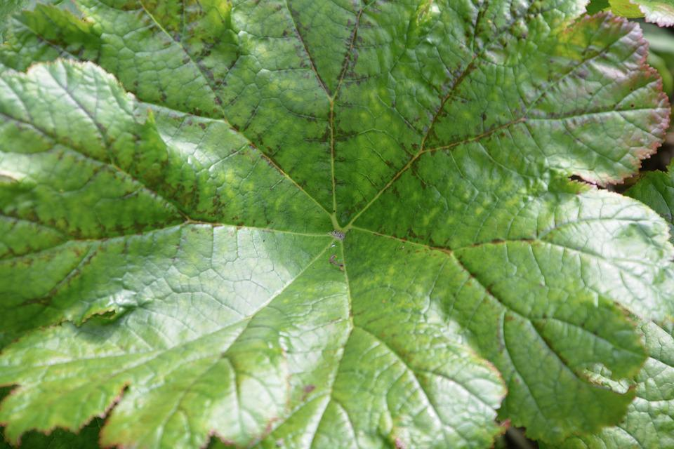 Green Leaf, Plant, Sheet Giant, Pretty, Nature, Garden