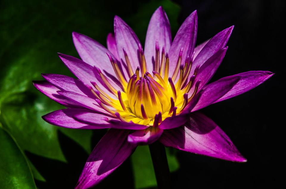 Water Lily, Pretty Purple Water Lily, Waterlily, Flower