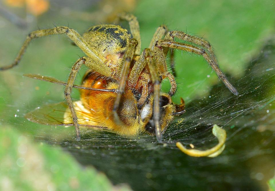 Insects, Spider, Prey, Bee
