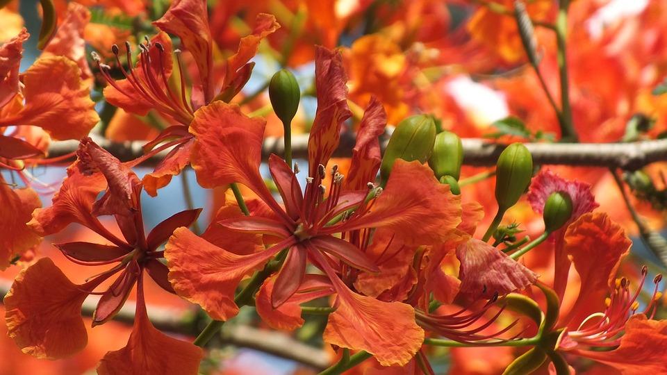 Krishnochura, Flower, Red, Prickles, Thorny, Blooming
