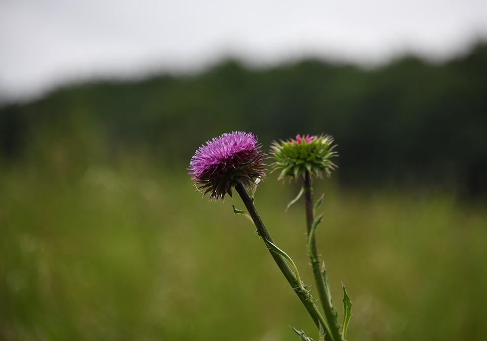 Thistle, Flower, Purple, Meadow, Prickles