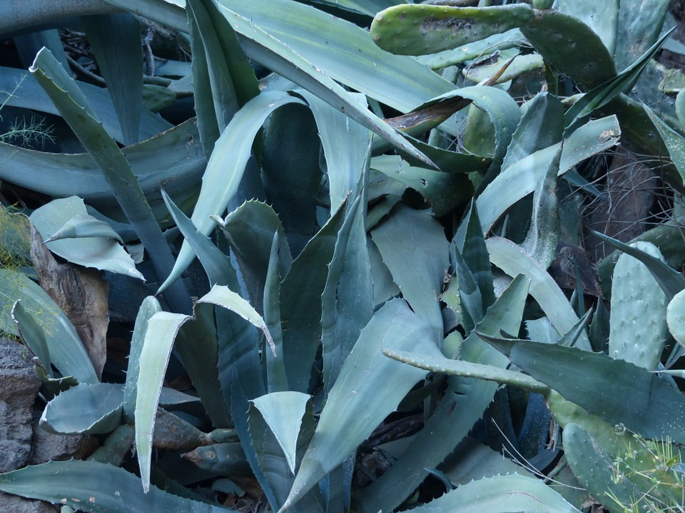 Agave, Leaves, Spiny, Prickly