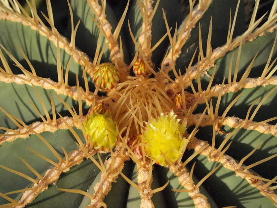 Cactus, Cactus Blossom, Prickly, Sting, Yellow, Green