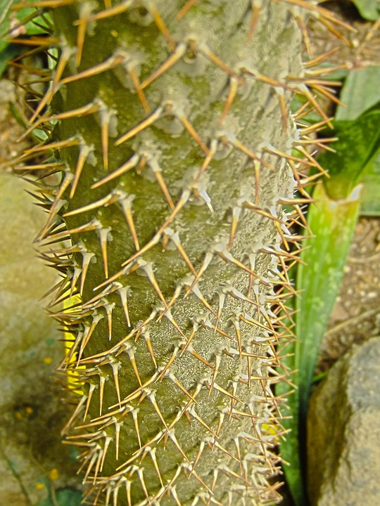 Cactus, Stem, Trunk, Thorns, Spines, Sharp, Prickly