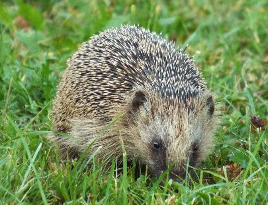 Hannah, Hedgehog, Prickly, Nocturnal, Crepuscular
