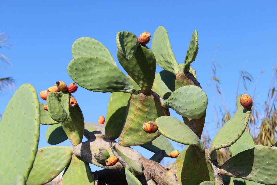 Cactus, Prickly Pear, Sting, Spain