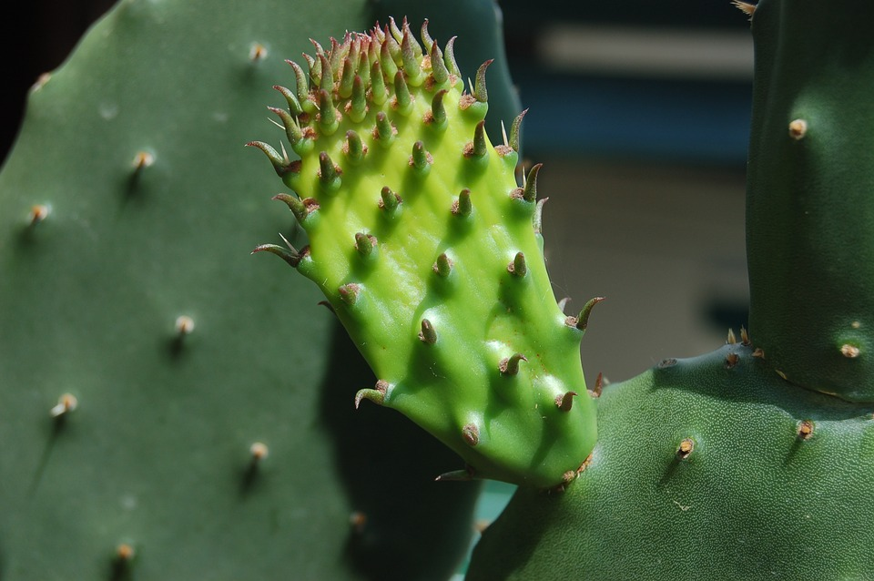 Cactaceae, Succulent Plants, Thorny, Prickly Pears