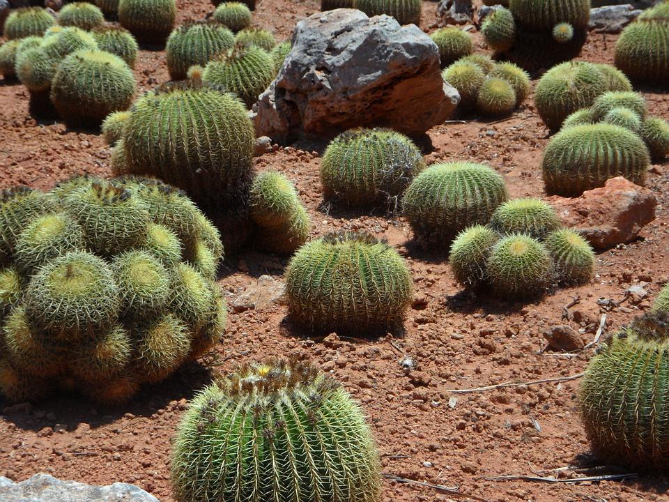 Cactus, Ball Cactus, Plant, Cactus Garden, Prickly