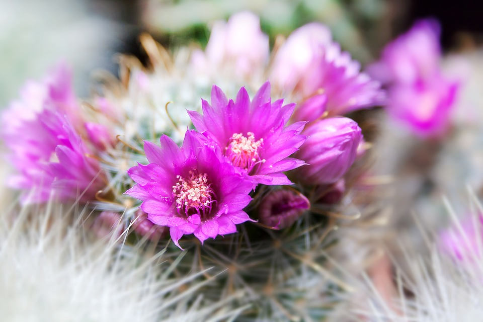 Cactus, Spur, Arizona, Plant, Prickly, Flowers