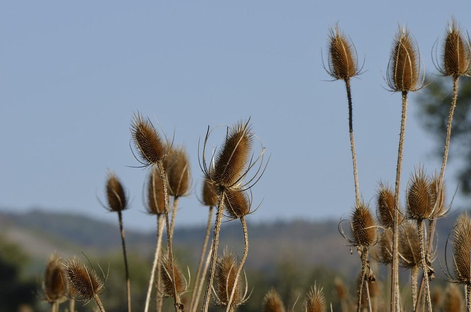 Thistle, Plant, Wild Flower, Nature, Spur, Prickly