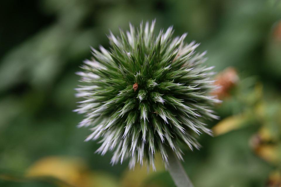 Trockenblume, Autumn, Infructescence, Green, Prickly