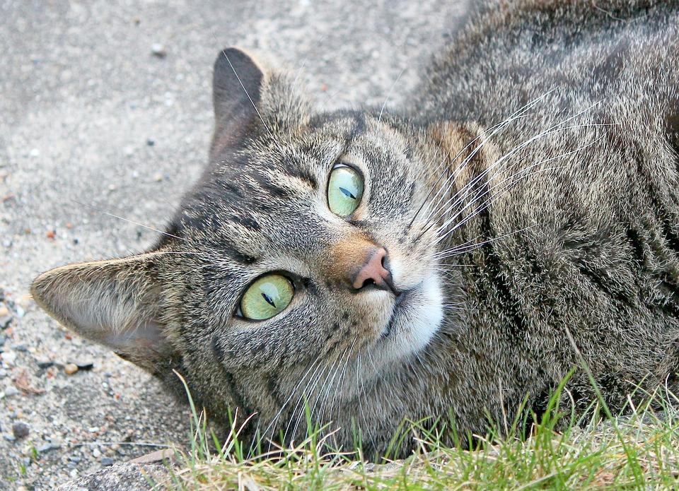 Cat, Felidae, Pride