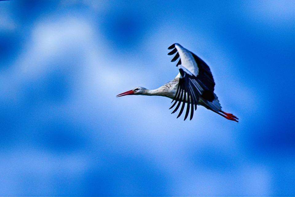 Stork, Flying, Elegant, Pride, Beautiful, Wing, Feather