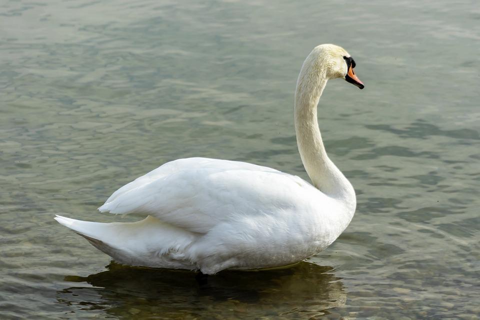 Mute Swan, Swan, White, Bird, Swim, Pride, Elegant