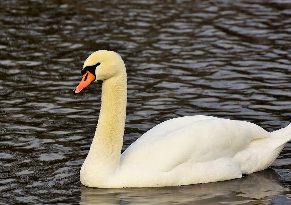 Swan, Water Bird, Schwimmvogel, Pride, White Swan, Bird