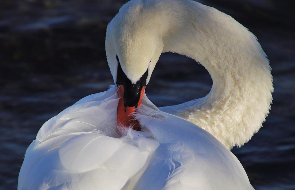 Wild Birds, Pen, Beak, Plumage, Neck, Pride, Closeup