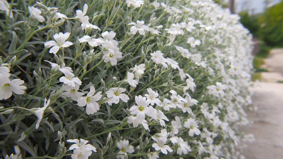 Flowers, Skalka, White, Priedomie, Still Life