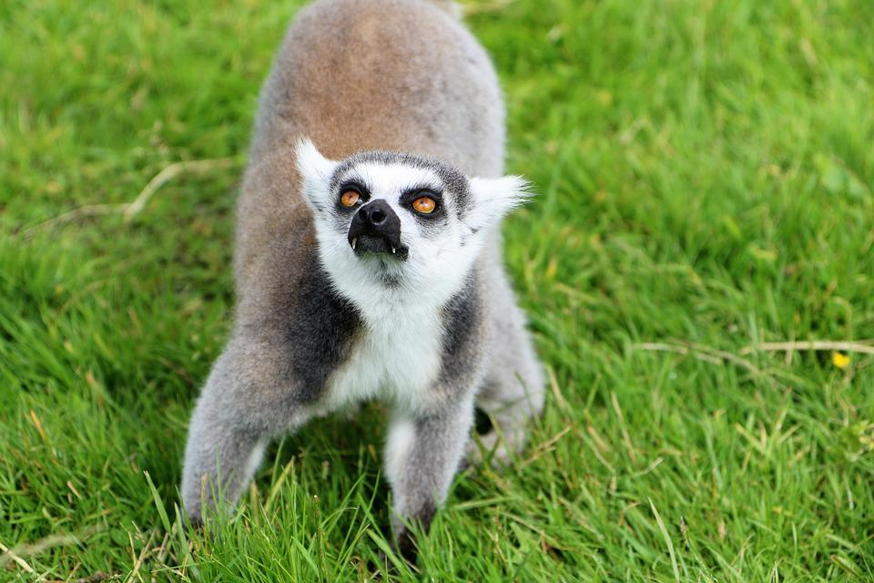 Lemur, Wildlife, Primate, Nature, Animal, Monkey