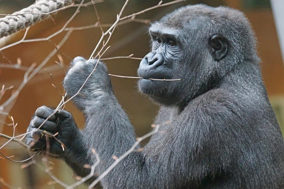 Animals, Primate, Gorilla, Lowland Gorilla, Apes