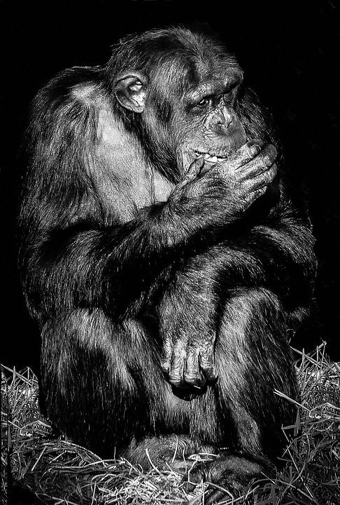 Mammal, Portrait, Ape, Primate, Monkey, Animal