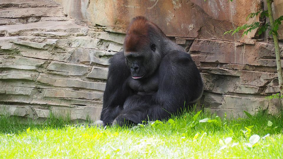 Gorilla, Monkey, Ape, Animal, Mammal, Wild, Primate