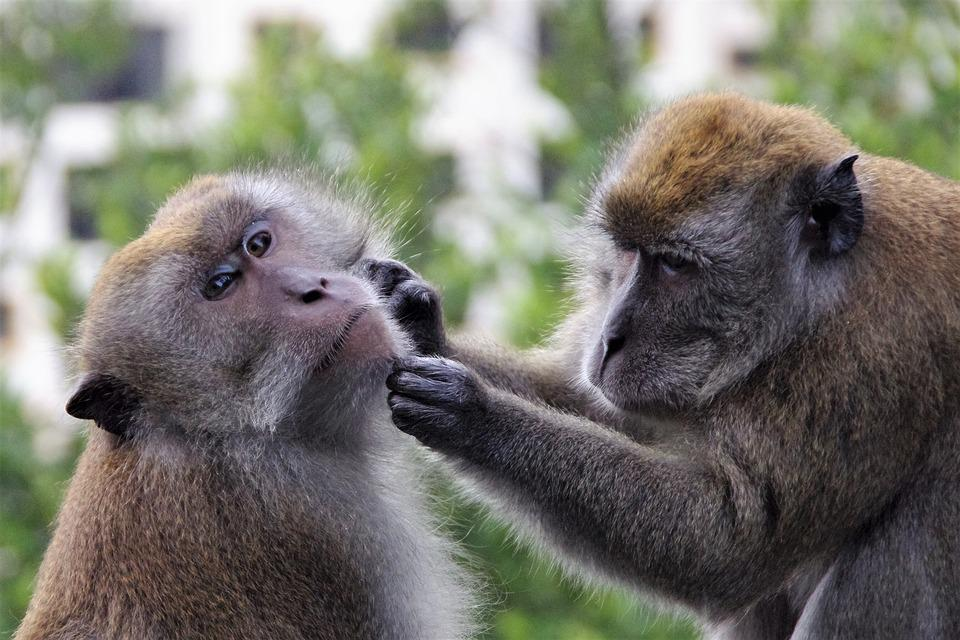 Monkey, Primate, Mammal, Ape, Wildlife, Animal, Nature