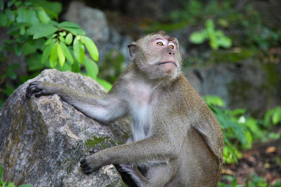 Monkey, Macaque, Thailand, Primate, Wildlife