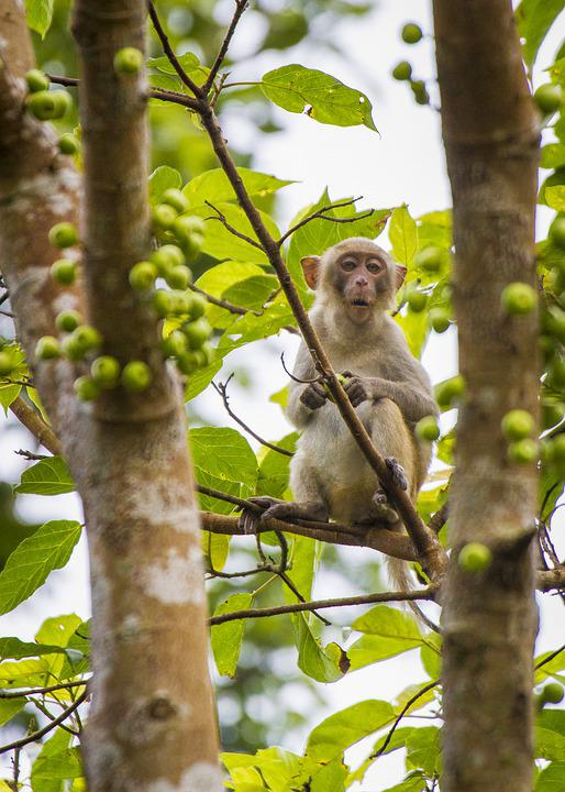 Monkey, Tree, Fig, Young, Animal, Mammal, Primate