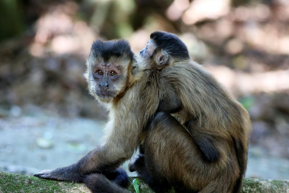 Monkey Nails, Feeding, Primate, Animal, Wild