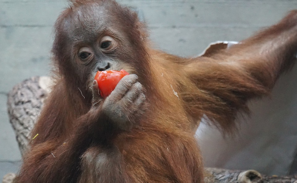 Orang-utan, Primate, Monkey, Young Animal