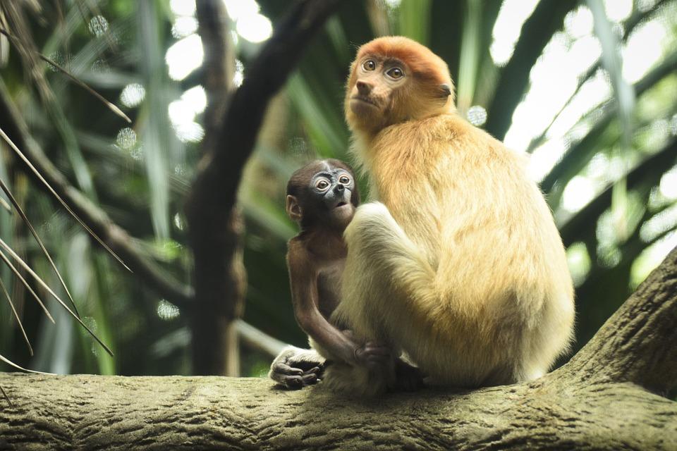 Monkey, Mother, Child, Proboscis, Mammal, Primate