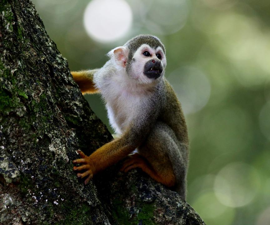 Scented Monkey, Primate, Animal, Wild, In The Tree