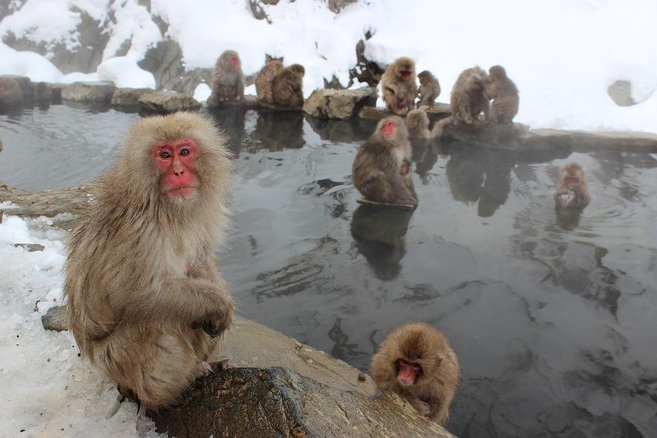 Snow Monkeys, Macaque, Japanese, Jigokudani, Primate