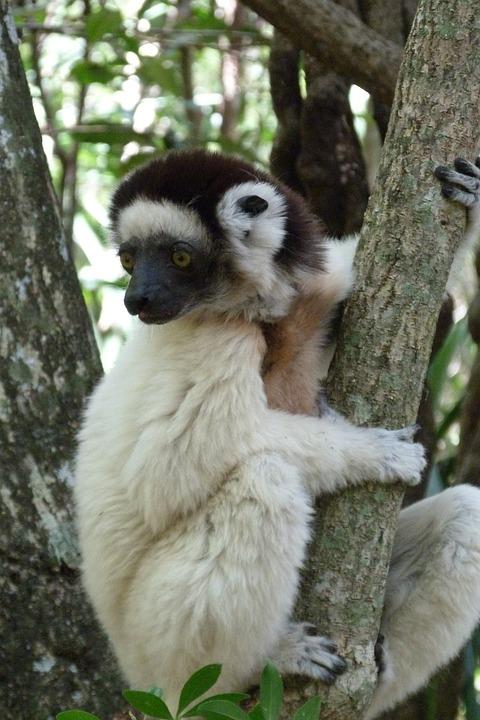 Sifaka, Animal, Wildlife, Lemur, White Sifaka, Primate