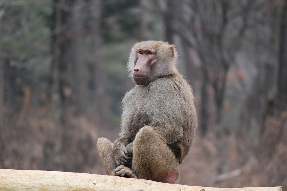 Monkey, Animal, Wildlife, Wild, Mammal, Fauna, Primate