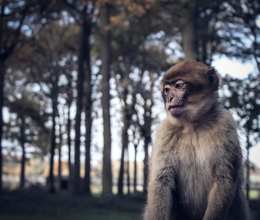 Monkey, Sad, Zoo, Primate, Jungle, Thoughtful