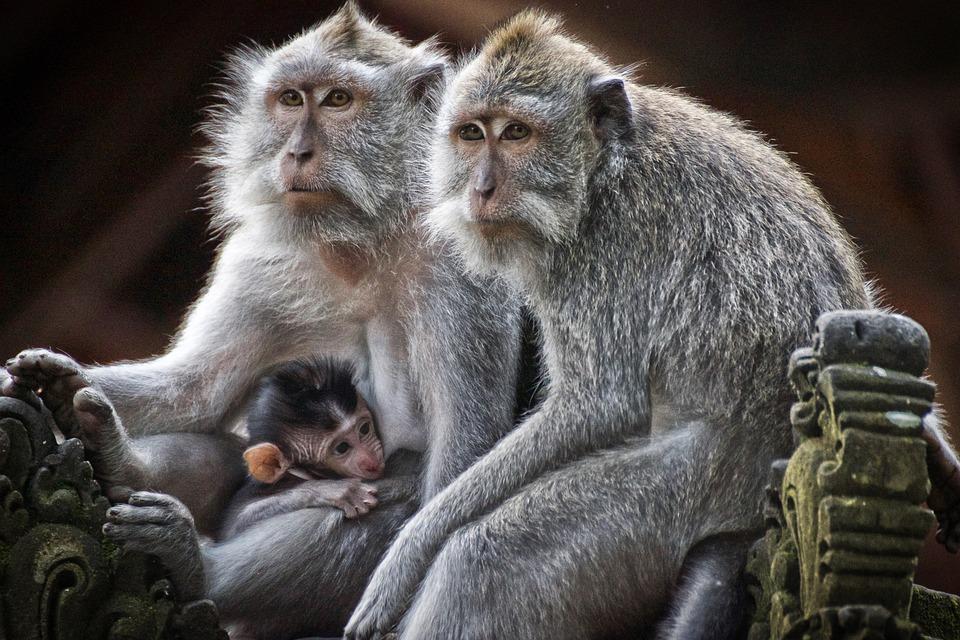 Monkeys, Primates, Family