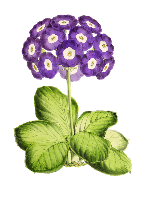 Primrose, Flower, Plant, Blossom, Bloom, Vintage