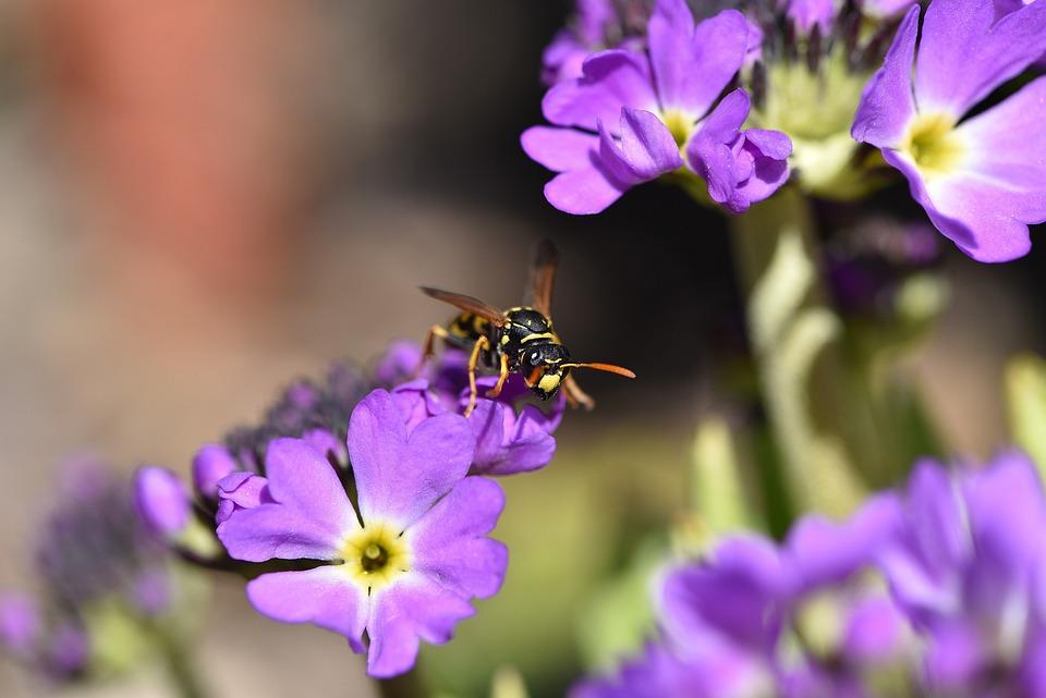 Primrose, Drumstick, Flower, Purple, Spring Flower