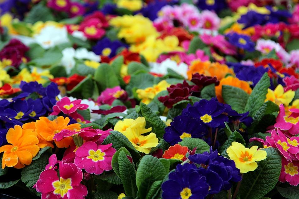 Flower, Nature, Flora, Garden, Floral, Primrose