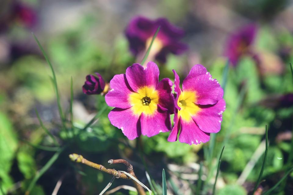 Primrose, Kissenprimel, Flower, Plant, Flowers, Pink