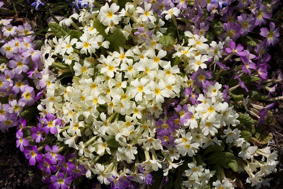 Primrose, Primula, Cowslip, Genus, Primrose Greenhouse