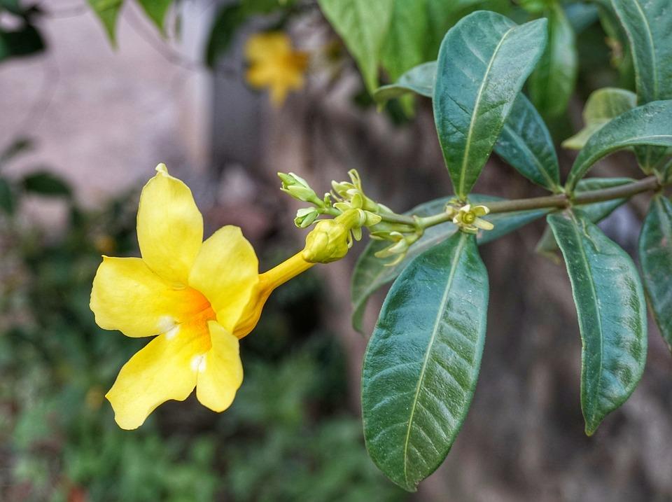 Green Leaf Manzanita Blossoms, Primrose Jasmine, Flora
