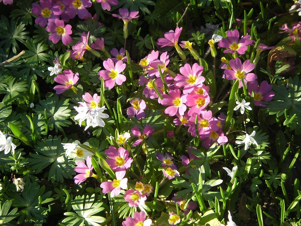 Primroses, Flowers, Plant, White, Primrose, Spring