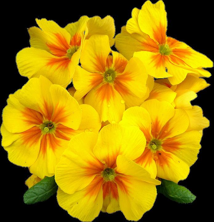 Primroses, Spring, Flowers, Plant, Primrose, Yellow