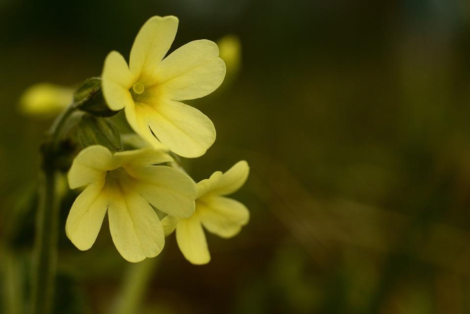 Primrose, Spring, Flowers, Nature, Yellow, Flora