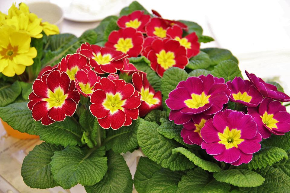 Primrose Pots, Signs Of Spring, Colorful, Primroses