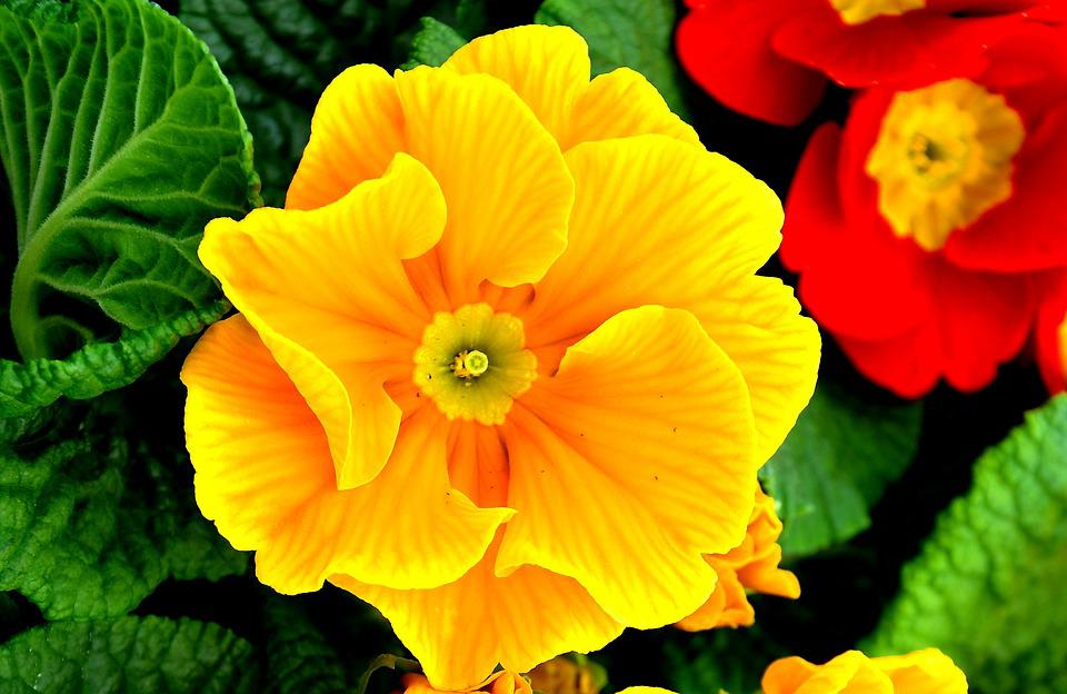 Primrose, Spring Flowers, Yellow, Primula